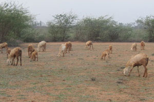 Contribute towards income generation program(goat rearing) for the rural community