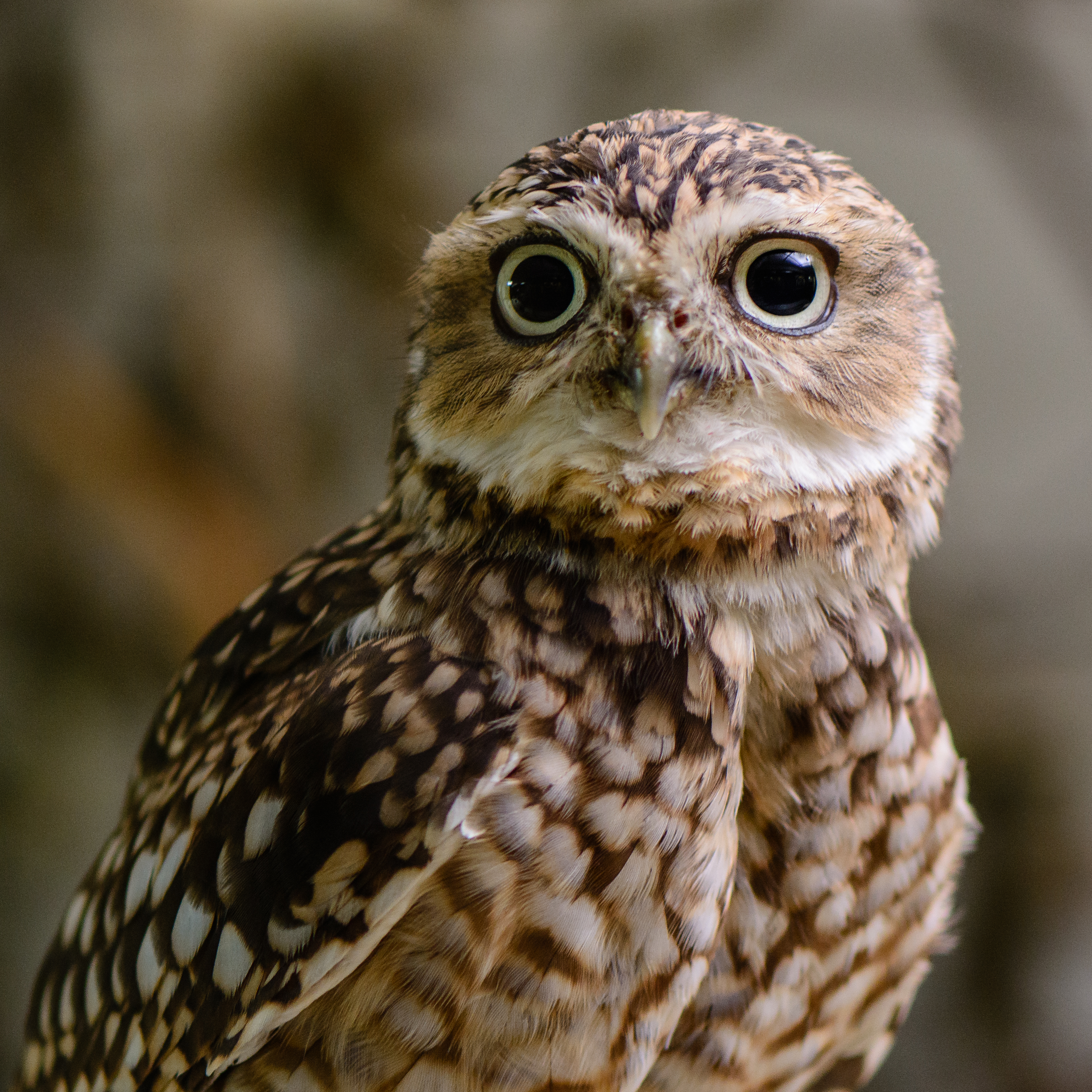 Fight against Illegal trade of Owls in India for use in pet industry and black magic